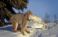 Lynx (Felis lynx canadensis) carries a snowshoe hare, its main food source, across the open snow to a more secluded spot to eat. Winter, North America.