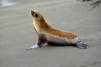 A sea lion basks on the beach in Bodega Bay, California.