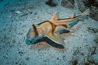 Port Jackson shark, Heterodontus portusjacksoni, juvenile, endemic, Montague Island, Narooma, New South Wales, Australia, South Pacific Ocean