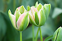 Tulip 'Groenland' (Viridiflora Group).
