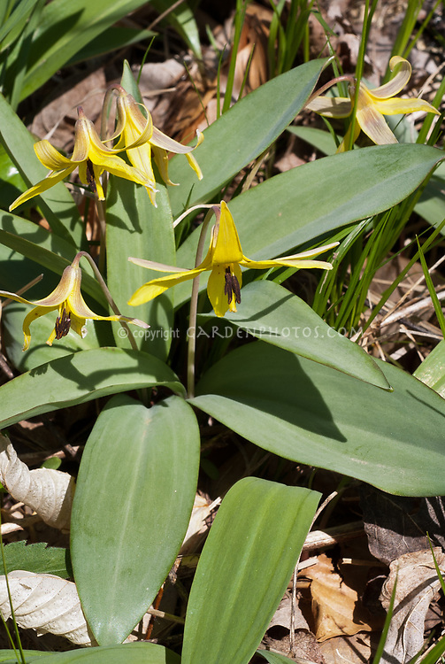 Erythronium americanum, Yellow Trout Lily, American native wildflower, in spring bloom, showing back of yellow flowers, facing downward, nodding, variety with unmarked plain green foliage