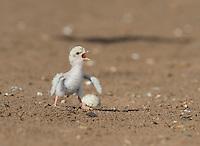 Least Tern (Sterna antillarum), young tern calling, Port Isabel, Laguna Madre, South Padre Island, Texas, USA