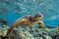 green sea turtle, Chelonia mydas, endangered species, swimming along shallow reef at Kahaluu Beach Park, Kona, Big Island, Hawaii, USA, Pacific Ocean
