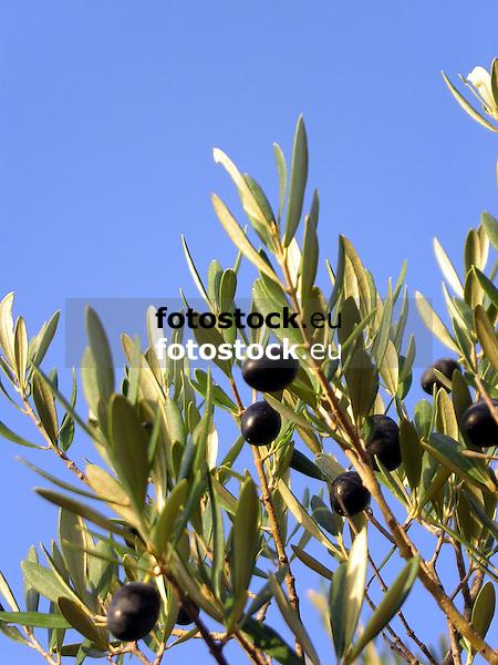 black olives at a branch of an olive tree against blue sky<br /> <br /> aceitunas negras en una rama de olivo con cielo azul<br /> <br /> schwarze Oliven am Zweig eines Olivenbaums gegen blauen Himmel