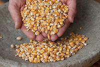 Maiskörner, Reifer Mais, Getreide, Zea mays, Corn, Maize
