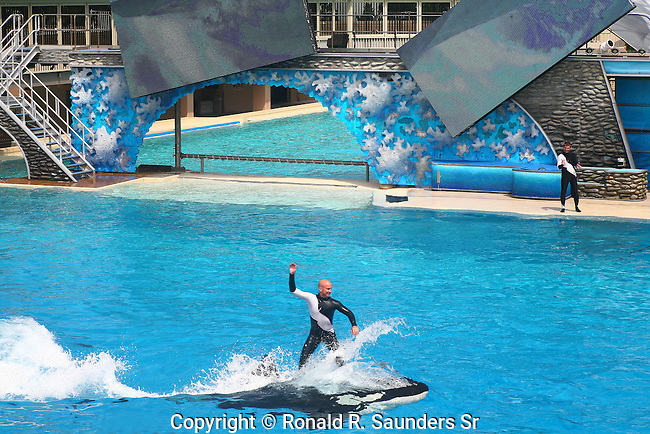 TRAINER RIDES ON BACK OF ORCA AT SAN DIEGO SEA WORLD