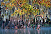 A particularly elegant bald cypress with fall color reflected in the calm water in southern Louisiana.
