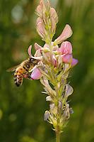 Une abeille butine le nectar d'une fleur de sainfoin, des pelotes de pollen fixées à ses pattes postérieures. Quelle que soit la saison, une butineuse ne peut remplir ce rôle plus de quinze jours au terme desquels elle meure. Les butineuses volent jusqu'à cinq kilomètres de la ruche. Elles vont de fleur en fleur en les choisissant très rapprochées pour économiser leur énergie. Possédant une sorte d'horloge interne, elles cessent les longs vols en fin de journée pour butiner à proximité de la ruche et ne pas se faire surprendre par la tombée de la nuit. .