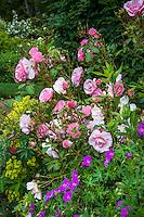 Pink flower Rose 'Cornelia' with Geranium sanguineum in mixed garden; Digging Dog Nursery