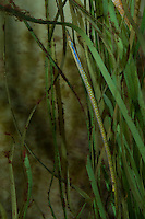 Kleine Schlangennadel, Nerophis ophidion, Straight-Nosed Pipefish, Straightnose pipefish, Le nérophis ophidion, Seenadel, Seenadeln, Syngnathidae, Pipefishes