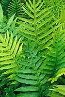 Lauae fern (microsorium scolopendria)