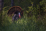 Tom turkey strutting in the early evening in  northern Wisconsin.