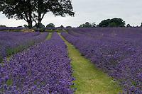 Lavender Harvest - England
