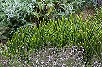 Euphorbia alluaudii (syn. Euphorbia leucodendron) Cat Tails Euphorbia succulent in Fullerton Arboretum, Southern California