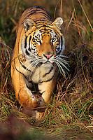 Bengal Tiger walking through grass.