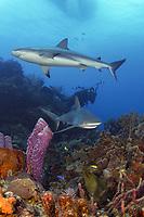 Caribbean reef sharks, Carcharhinus perezii, moray eel, Muraenidae sp., and scuba diver in Bahamas reef scene., Caribbean, Atlantic
