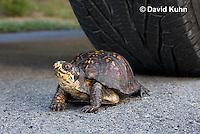 1003-0806  Male Eastern Box Turtle Crossing Paved Road Under Car and Tires - Terrapene carolina © David Kuhn/Dwight Kuhn Photography
