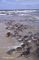 1Y47-128x  Horseshoe Crab - mating on beach at high spring tide -  Limulus polyphemus