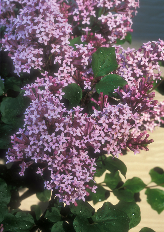 Syringa Prince Charming aka Bailming, lilac bush in bloom in spring flowers, littleleaf type shrub