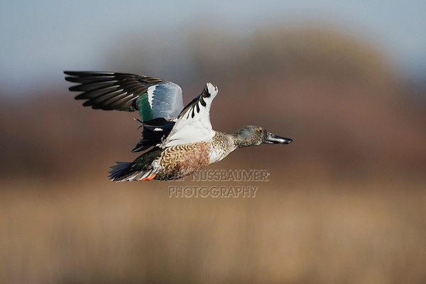 Northern Shoveler (Anas clypeata), immature in flight, Bosque del Apache National Wildlife Refuge , New Mexico, USA,