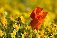 Carpets of Goldfields (Lasthenia californica) and California Poppies (Eschscholzia californica) Antelope Valley near Lancaster, California