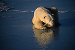A portrait of a polar bear resting on the ice.