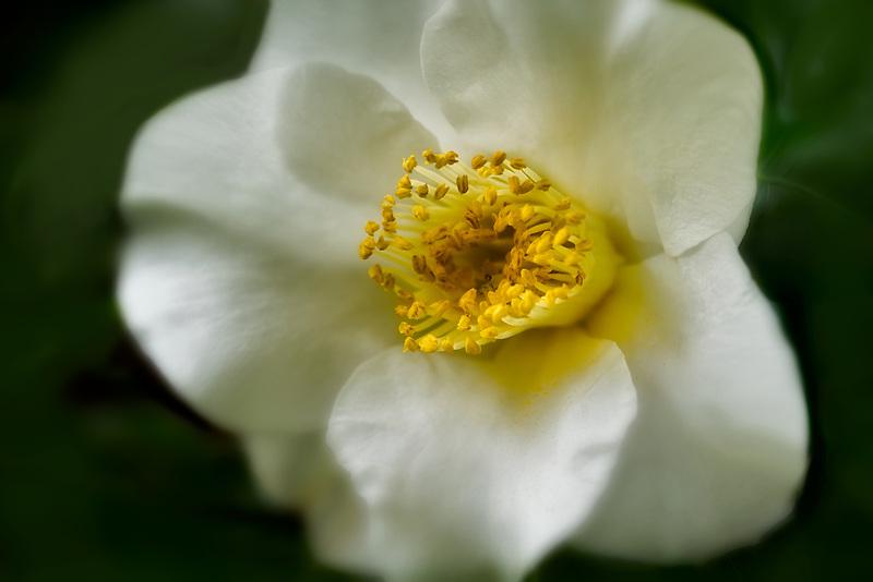 Close up of Gardenia flower. Hawaii, The big Island