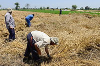 EGYPT, governate Beheira, farming in the Nile delta , harvest of wheat / AEGYPTEN, Beheira, Landwirtschaft im Nildelta, Ernte von Weizen