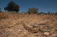 San Diego Gopher Snake - Pituophis catenifer annectens -  The most commonly encountered snake on the coastal side of the mountains.
