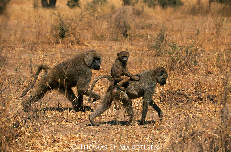Adult anubis baboons walk and carry a young baboon in Africa.