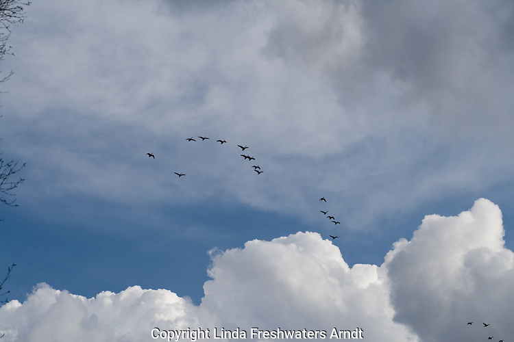 Flock of Canada geese (Branta candensis) flying high in the clouds
