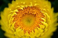 Close up of Bracteantha flower. Oregon