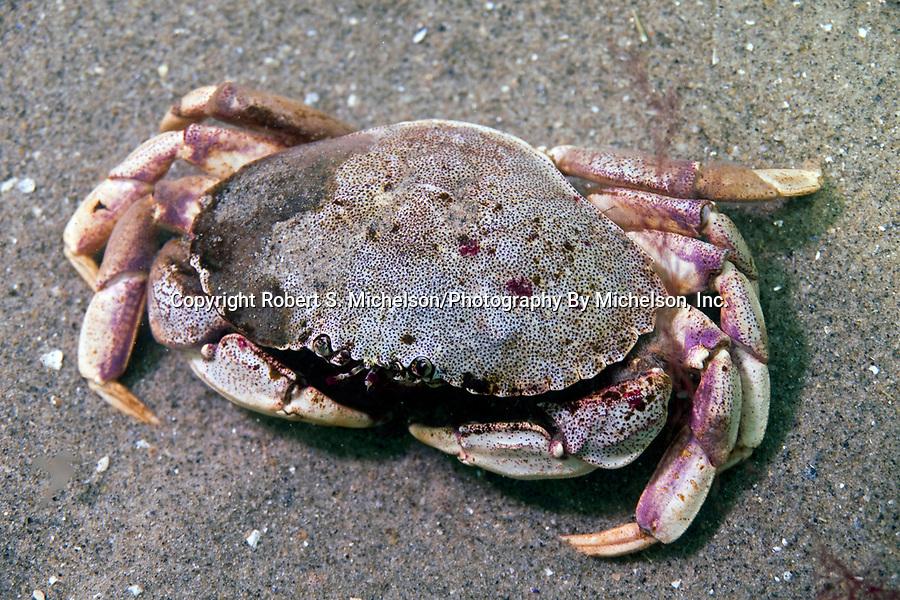 Rock crab on sand bottom.
