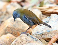 Black-billed nightingale-thrush. This bird found at higher altitude in oak forest above the Savegre River.