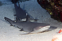 Whitetip reef shark, Triaenodon obesus, are one of the few species of sharks that can stop and rest on the bottom, Maui, Hawaii.