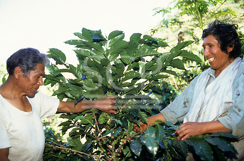 San  Juan del Oro, Peru. Two men picking coffee.