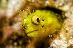 Acanthemblemaria aspera, Roughhead blenny, Florida Keys