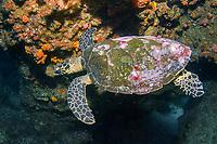 Hawksbill Turtle, Eretmochelys imbricata, Cherub's Cave, Moreton Bay Marine Park, Brisbane, Queensland, Australia, South Pacific Ocean