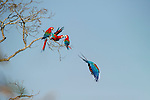 Red-and-Green Macaws or Green-winged Macaws (Ara chloropterus) (Family Psittacidae) in flight over forest canopy. Buraco das Araras (Sinkhole of the Macaws), Jardim, Mato Grosso do Sul, Brazil. September