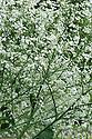 Crambe cordifolia, mid June.