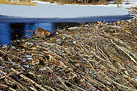 Beaver (Castor canadensis) working on dam.  Late fall.  Western U.S.