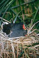 Teichralle, Altvogel brütet auf Nest, Teich-Ralle, Grünfüssiges Teichhuhn, Teich-Huhn, Gallinula chloropus, moorhen