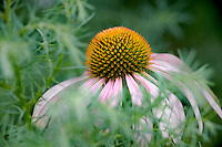 Cone flower. Portland Zoo butterffly Garden.Oregon