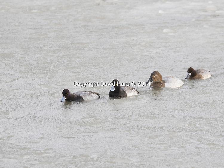 Scaups paddle their way through slush ice in the Choptank River at Cambridge.