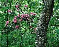 Catawba Rhododendron (Rhododendron catawbiense) in bloom; Shenandoah National Park, VA