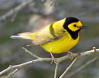 Male hooded warbler