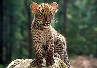 African Leopard cub, 8 weeks old.
