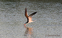 0908-0905  Black Skimmer Flying Foraging for Food (Fish), Skimming Surface of Water for Fish with Lower Mandible, Rynchops niger © David Kuhn/Dwight Kuhn Photography