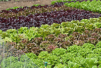 Lettuce variety types growing in vegetable garden together: Lettuce (l>r): 'Chatsworth', 'Nymans' Romaine Cos, 'Dunrobin', 'Recoba', 'Exbury', 'Rosemoor' Romaine cos, 'Freckles', 'Mottisone', 'Minterne', 'Romany', red and green lettuces
