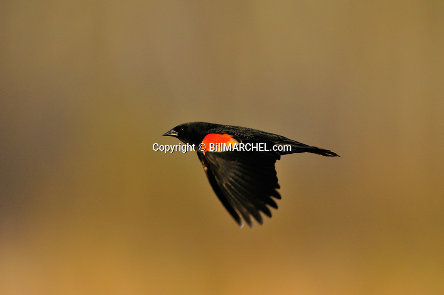 00080-012.03 Red-winged Blackbird male in flight shows dramatic shoulder epaulettes.